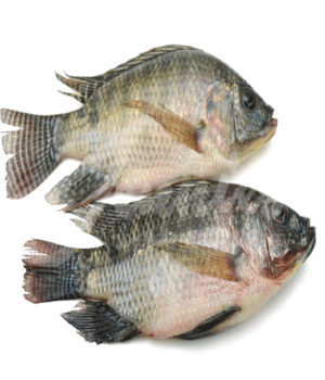 Image of farm fresh Tilapia Fish on Now Now Express for sending fish to Nigeria
