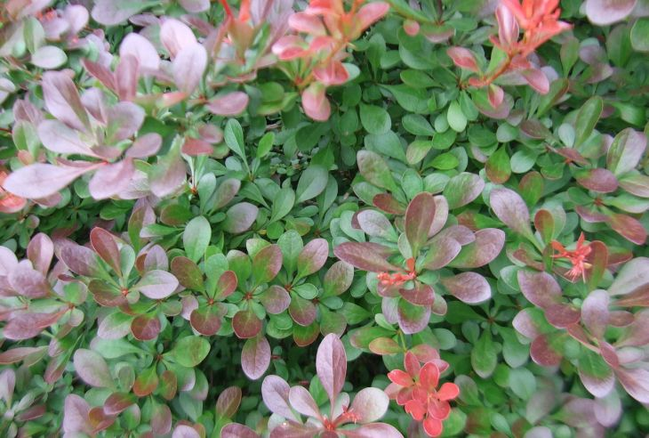 berberys rośliny płożące