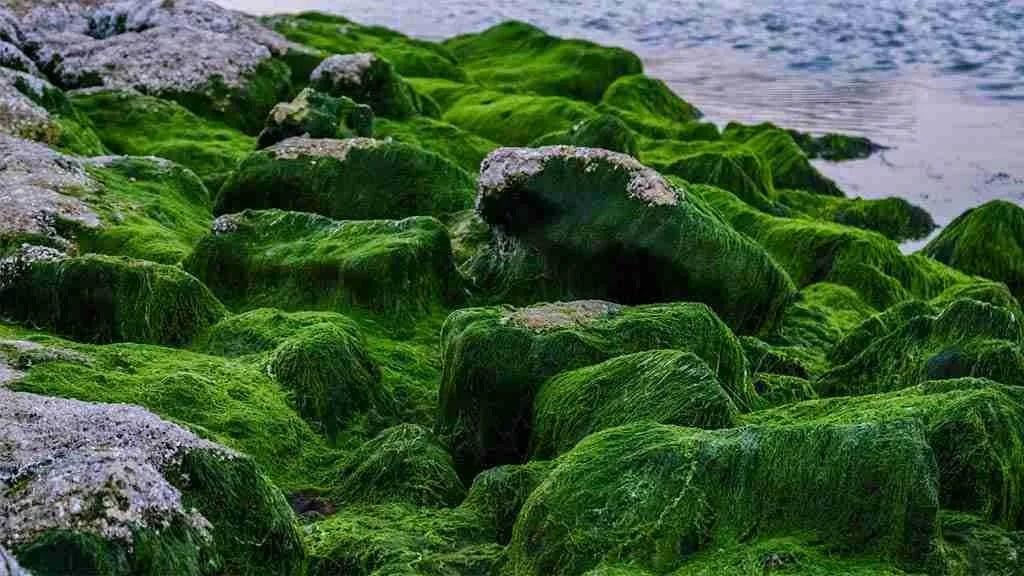 Read more about the article La Clorella, un'alga piccola ma molto potente. Sapevi che…?