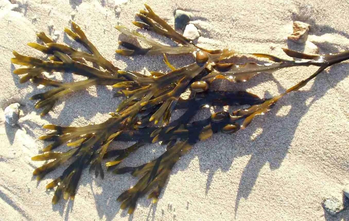Read more about the article Fucus Vesiculosus: l'alga bruna tutta da scoprire.
