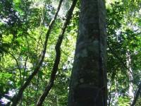 copaiba-planta