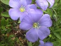 flor-linhaça