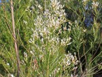 ASTE Baccharis neglecta - Poverty Weed