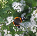 Red Admiral on White Mistflower