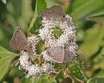 three hairstreaks