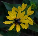 Silphium simpsonii - Simpson's Rosinweed
