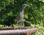 Nyctannassa violacea - Yellow-crowned Night Heron (immature)