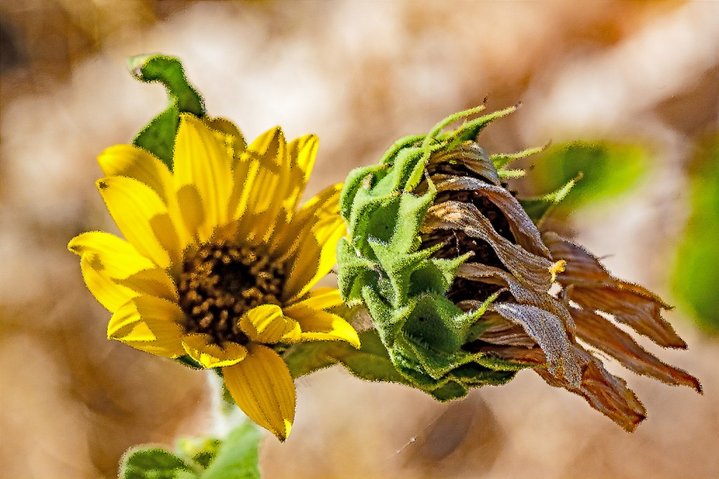 Sunflower (Helianthus sp)