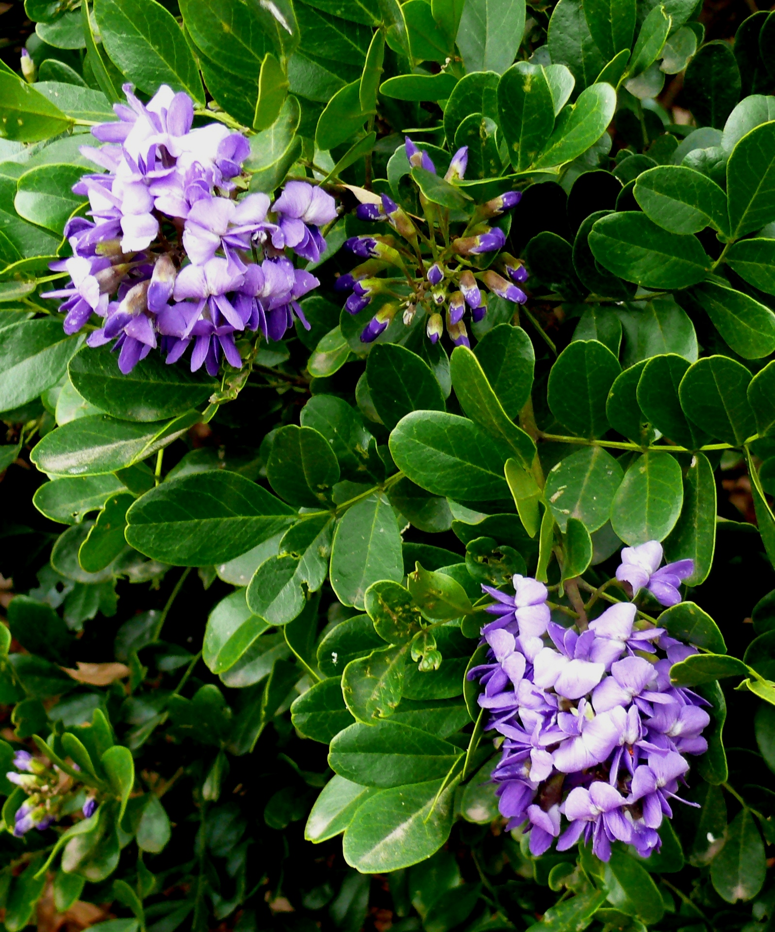Early Spring Blooms Of Texas Mountain Laurel (photo By Bill Ward)