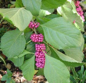 Limbs of American beautyberry bend under the weight of purple berries during early fall. (Photo by Bill Ward)