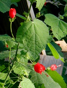 Turk's cap in bloom. (photo by Bill Ward).