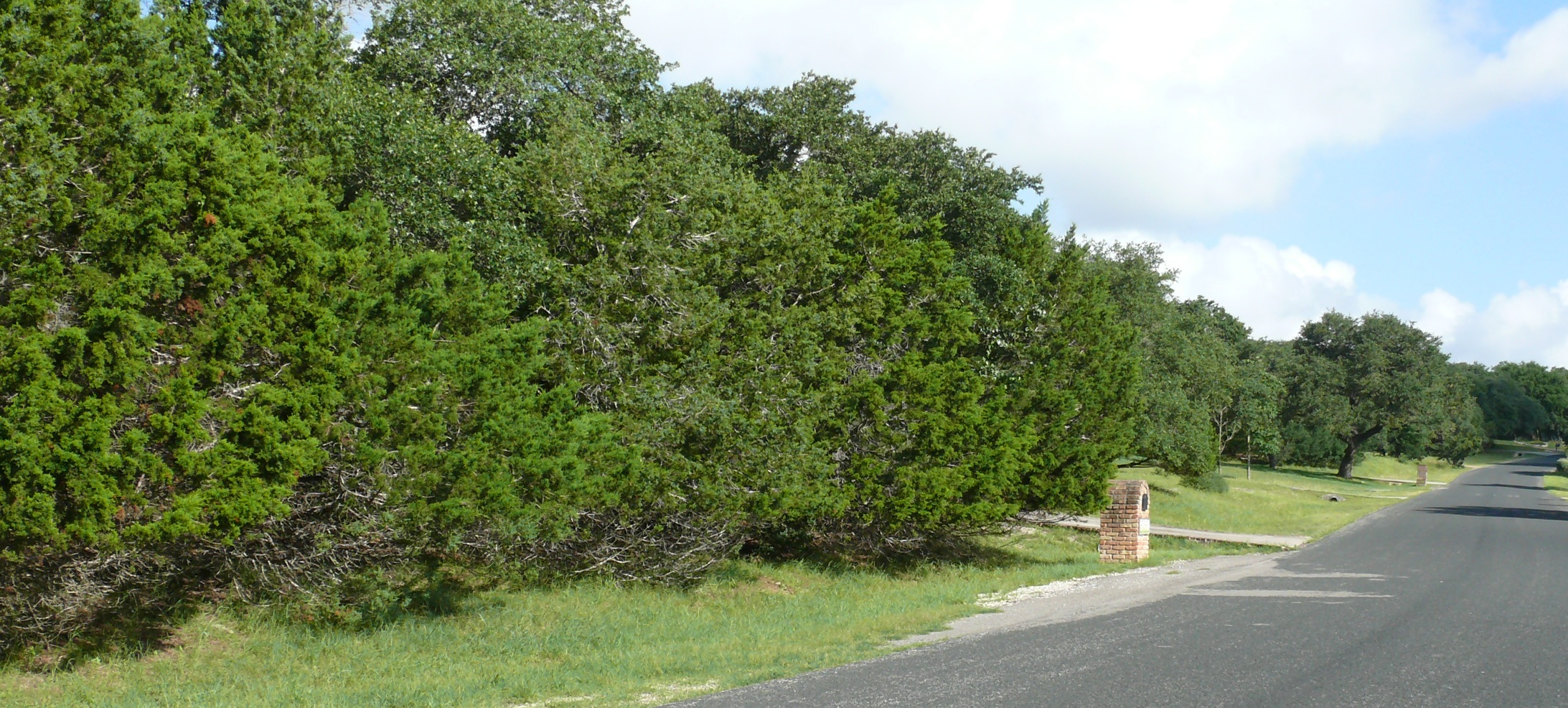 Mountain cedar does it deserve such disdain native juniper retained along street provides evergreen privacy screen photo by bill ward sciox Choice Image