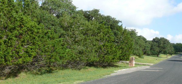 Native juniper retained along street provides evergreen privacy screen. (Photo by Bill Ward)