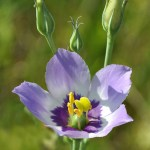 Texas Bluebells (Eustoma exaltatum). Photo by Janice Campbell.