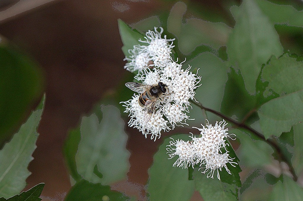 Seasonal blooms provide holiday presence native plant society of texas white mistflower ageratina havanensis mightylinksfo