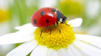 ladybug sits on a flower petal; Shutterstock ID 124603681; PO: Anne Mc. Web Pics