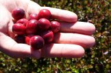 It doesn't take long to pick a pail full of cranberries at Terra Beata u-pick.