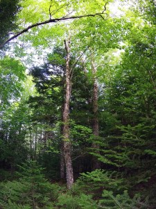 Is a mixed Acadian Forest in our future?