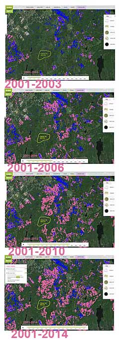 Loss of tree cover (pink) over intervals given; gain (blue) 2001-2012. Most of the blue is in recovering clearcuts. Click on image for larger version