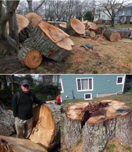 Oak cut in Dec 2016 (above) and Sept 2012 (below)