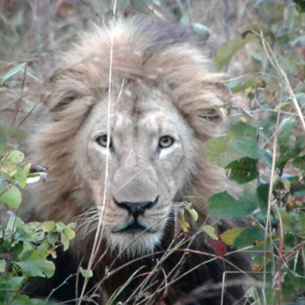 Lion Hunting - Nsonga Game Management & Lodges