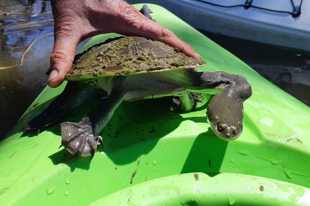 Broadshell Turtle held on top of green kayak