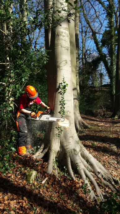 Tabi ringbarking a young beech tree.