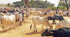 nti-news-objections-to-centre-against-cattle-slaughter-notification/