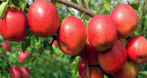 nti-news-apple-business-in-himachal