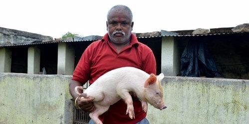 nti-news-rickshaw-puller-made-pig-farming-millionaires