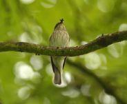 Flycatcher - Vic Savery
