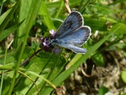 Open Winged Large Blue (BW)
