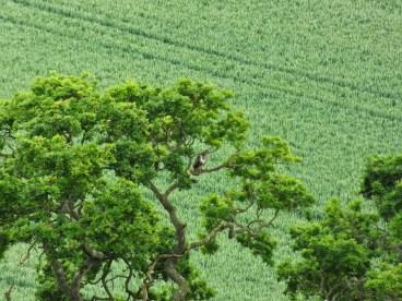 Common Buzzard (2)