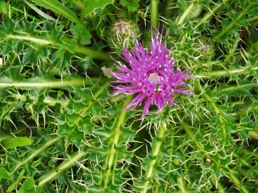 Ground Thistle