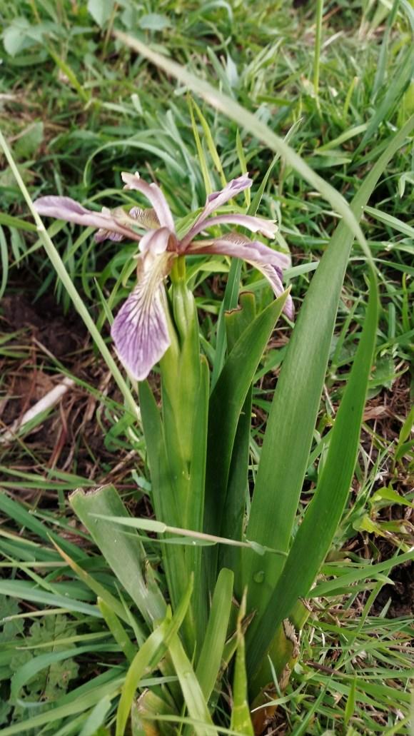 Stinking Iris