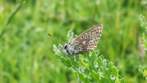 Very small Common Blue