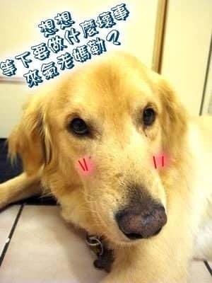 黃金獵犬Yuka 當演員表情超級多