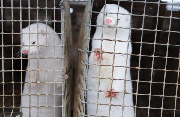 Ίσως βρέθηκαν τα πρώτα κρούσματα μετάδοσης κορωνοϊού από ζώο σε άνθρωπο