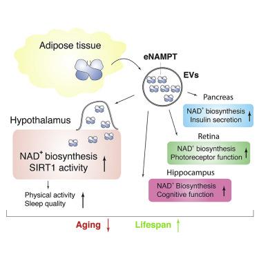 eNAMPT - Ένζυμο που κυκλοφορεί στο αίμα καθυστερεί τη γήρανση