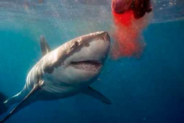 Καρχαρία - αίμα