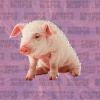 Productores de cerdos de Montecristi piden a las autoridades ir en su auxilio; dicen lo perdieron todo