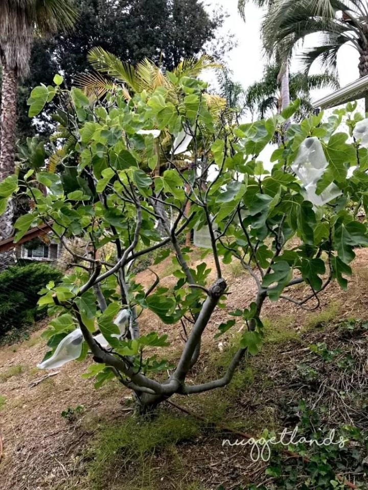 garden tips fig tree