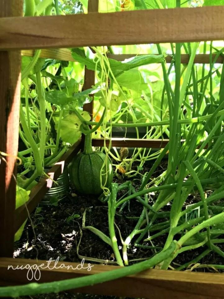 garden tips pumpkin