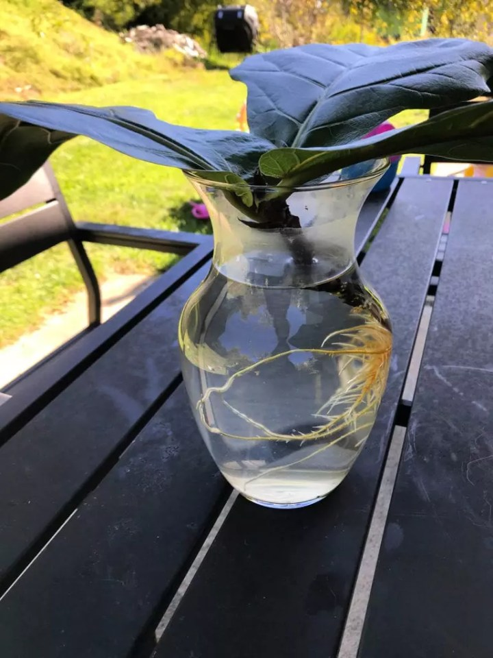Fiddle Leaf Fig Tree Care Roots in Water