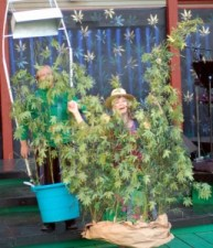 MARY JANE: THE MUSICAL ILLUMINATES THE EMERALD TRIANGLE JUNE 21 JULY 8 AT THE MAD RIVER FESTIVAL