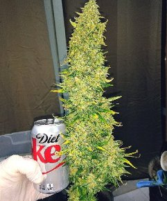 Granddaddy Purple Harvest Time. Cola weighed 6.5oz wet weight.