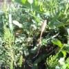 3/26イベントに向けて、エコビレッジの野草を下見