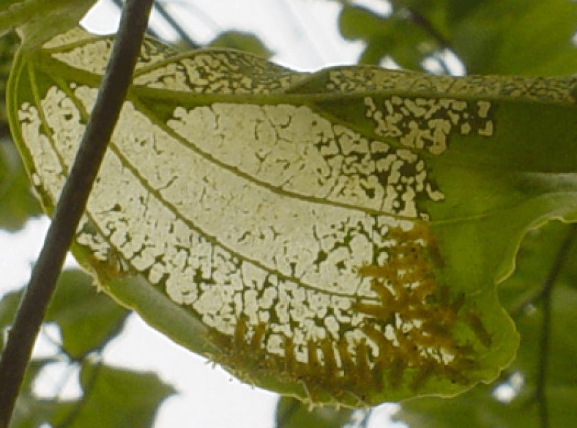 レース状に葉を食べるイラガ