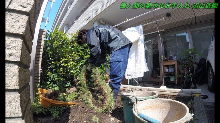 芝張り前の雑草取り
