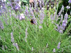 Lavendelblüten aus Eigenanbau